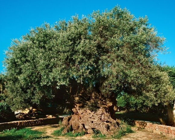 Ancient Olive Tree at Vouves Crete